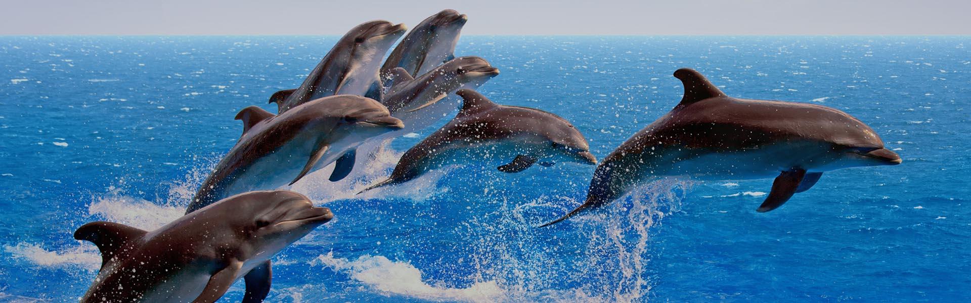 dolphins_header